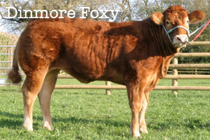 Dinmore Foxy